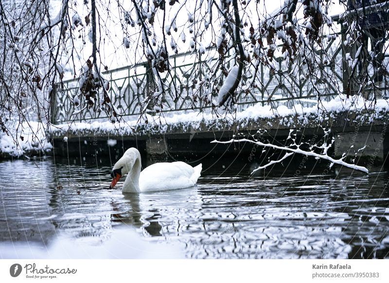Swan in winter Winter Animal Bird Water White Nature Lake Colour photo Exterior shot Wild animal Deserted Environment Day Reflection Lakeside naturally pretty