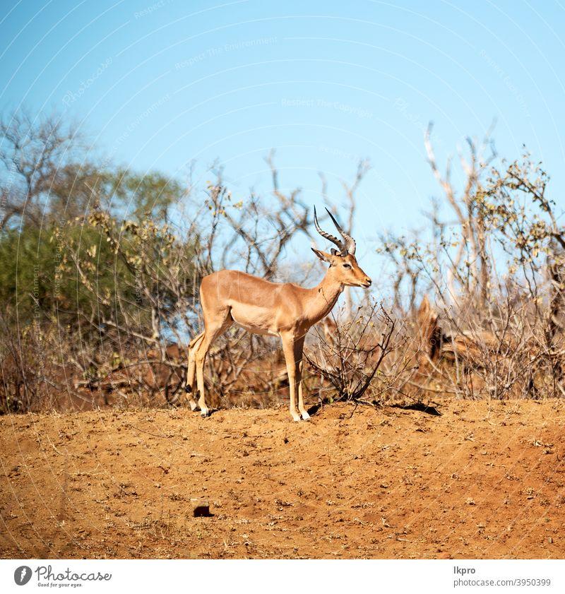wild impala in the winter  bush africa antelope wildlife park national animal nature south safari kruger mammal male aepyceros melampus gazelle grass wilderness