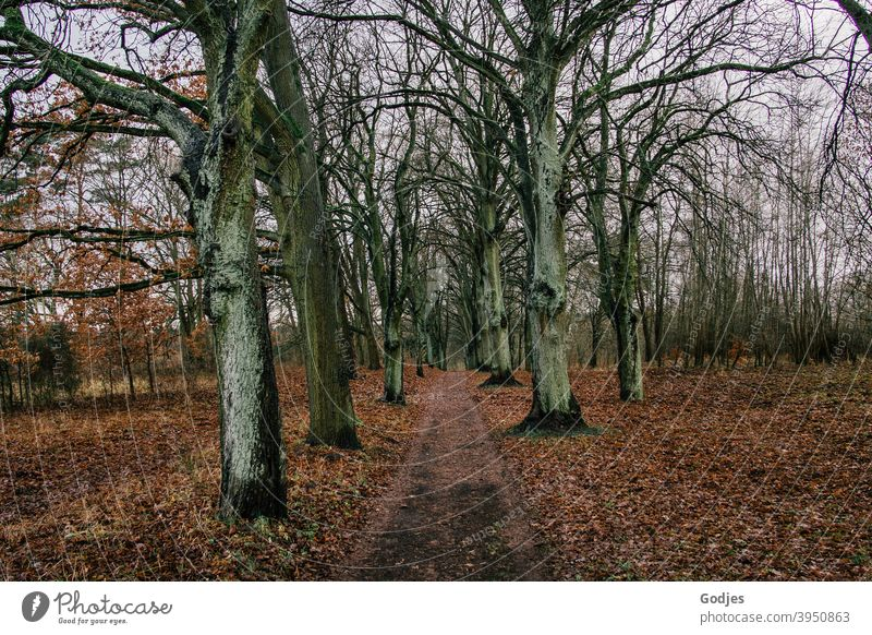 Path between bare trees, autumn leaves on the ground forest path To go for a walk outdoor Winter foliage Bleak Gloomy Nature Environment Exterior shot Tree
