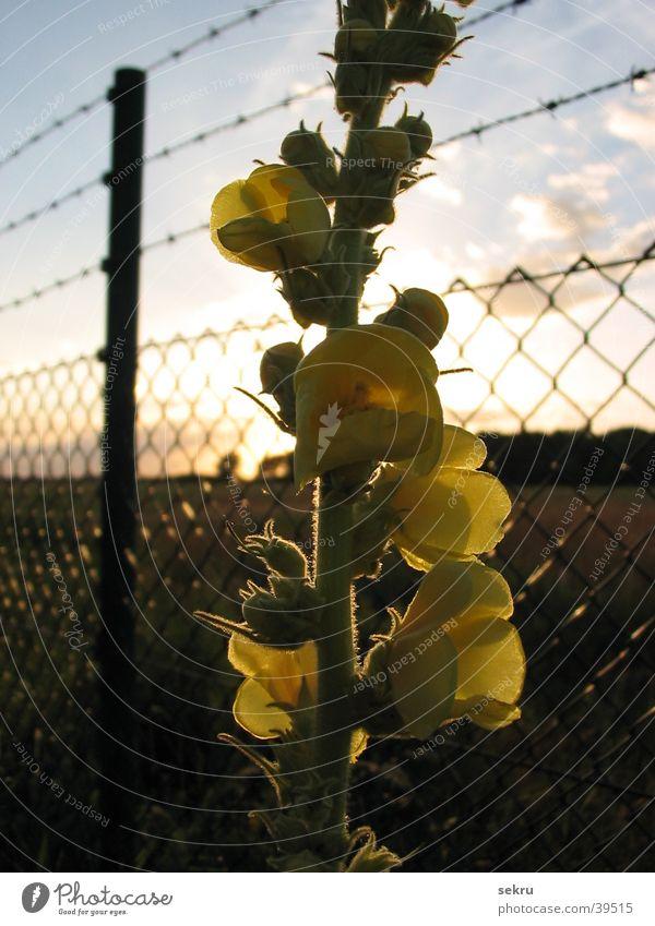 Sun Flower Plant Fence Dazzle