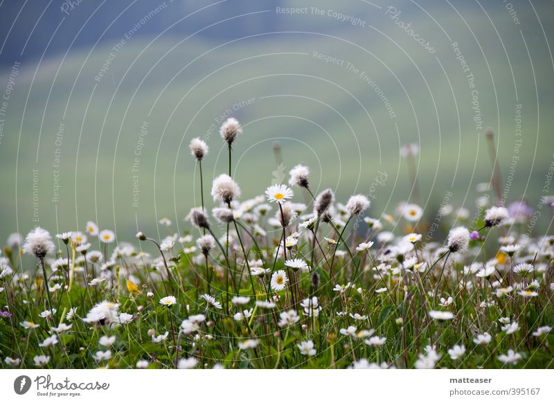 Nature Green White Summer Plant Flower Grass Blossom Earth Alps Hill Marguerite Covered Carpet of flowers