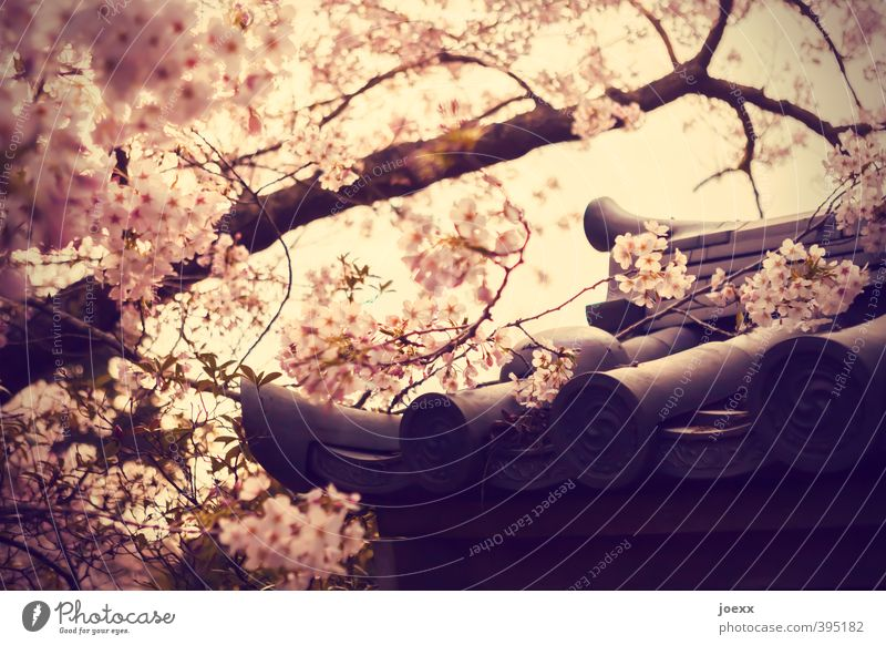 fortune cookie Beautiful weather Tree Blossom Garden Park Roof Bright Pink Cherry blossom Roofing tile Japanese Colour photo Subdued colour Exterior shot
