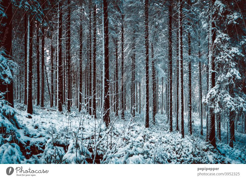 Forest in winter with snow on the tree trunks Winter Snow Tree Cold Ice Frost Nature Exterior shot Deserted Loneliness Clearing Woodground Forest walk