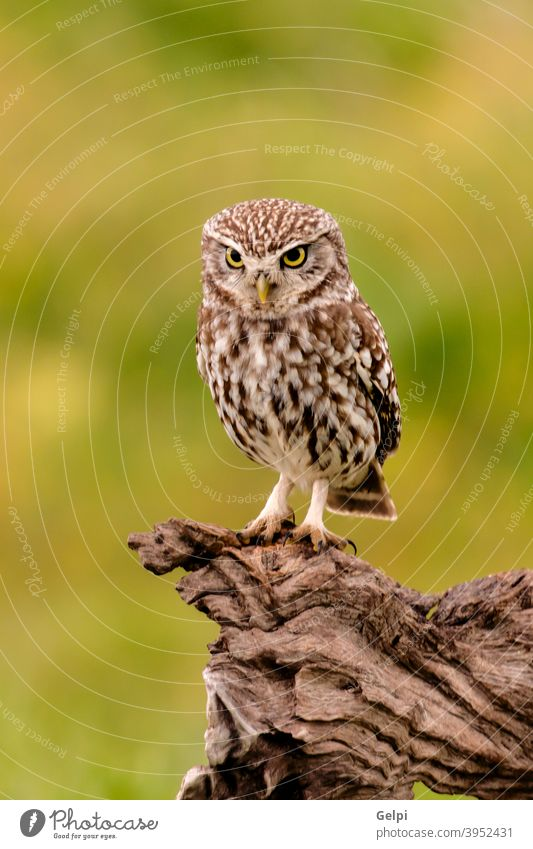 Cute little owl bird feather animal eye nature wildlife background predator hunter looking post prey funny white cute brown stare raptor beak green
