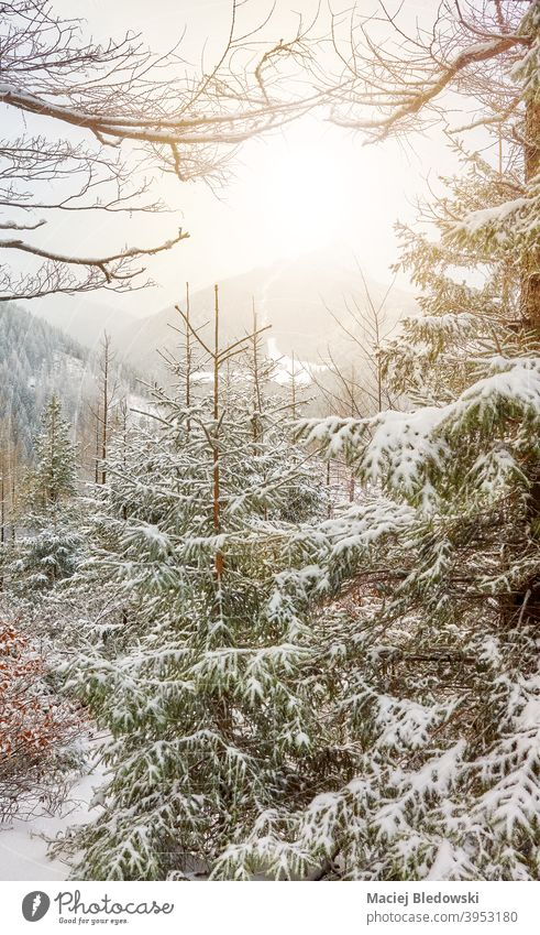 Snow covered trees in Tatra mountains, Tatra National Park, Poland. winter forest landscape beautiful sun snow nature season snowfall Tatry weather no people