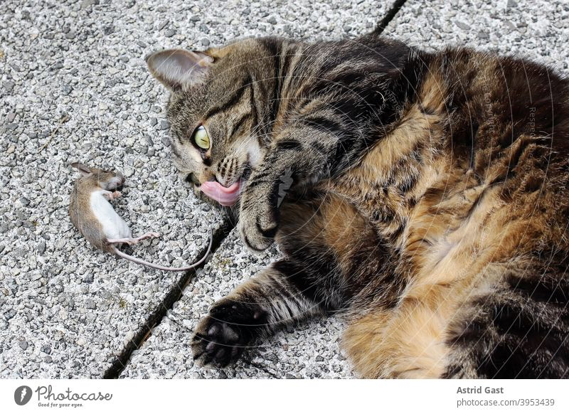 A cat has caught a mouse and is already licking her mouth Cat Mouse Prey Catch Joy pleased Tongue Anticipation catch Pet Animal rodent prey animal Domestic cat