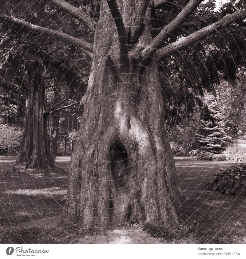 large, oddly shaped tree trunk with large knot and bare branches; grass, path and trees in background Nature Love of nature Experiencing nature Environment