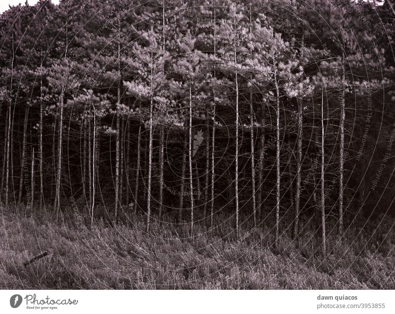 tall, thin pine trees losing their needles standing behind a rolling field in the foreground Nature Love of nature Experiencing nature Environment Landscape
