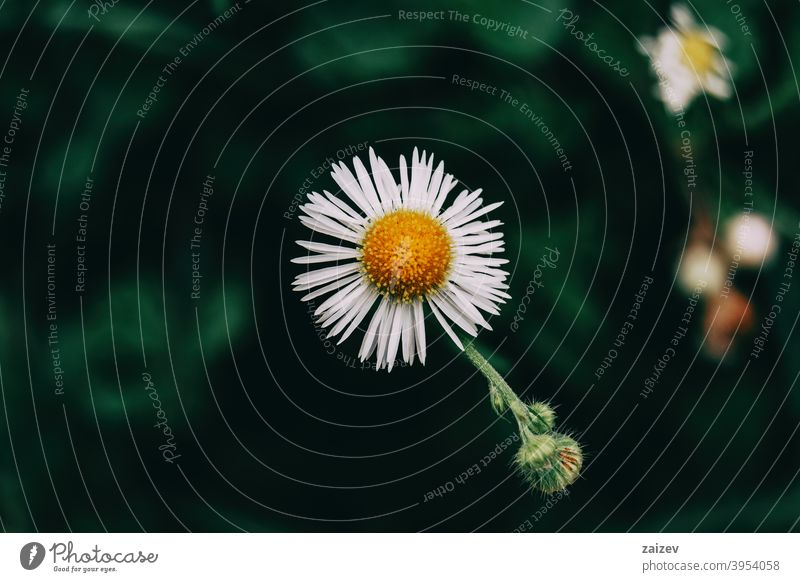 a single flower with white erigeron petals Erigeron daisy horizontal tranquility copyspace gerber image growth isolated one weed annual fragility light
