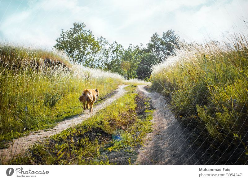 Medium-coated Tan Dog Running on Dirt Road Between Green Grass Near Trees domestic canine speed pet animal run dog rapidity color nobody face happy winter herb