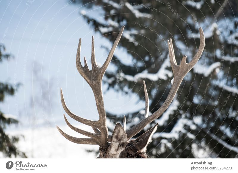 Deer antlers in the snow stag peak Animal Winter Snow ears Large Old ender Pelt Tree Forest Nature Brown Green Hard Coniferous trees Exterior shot Colour photo