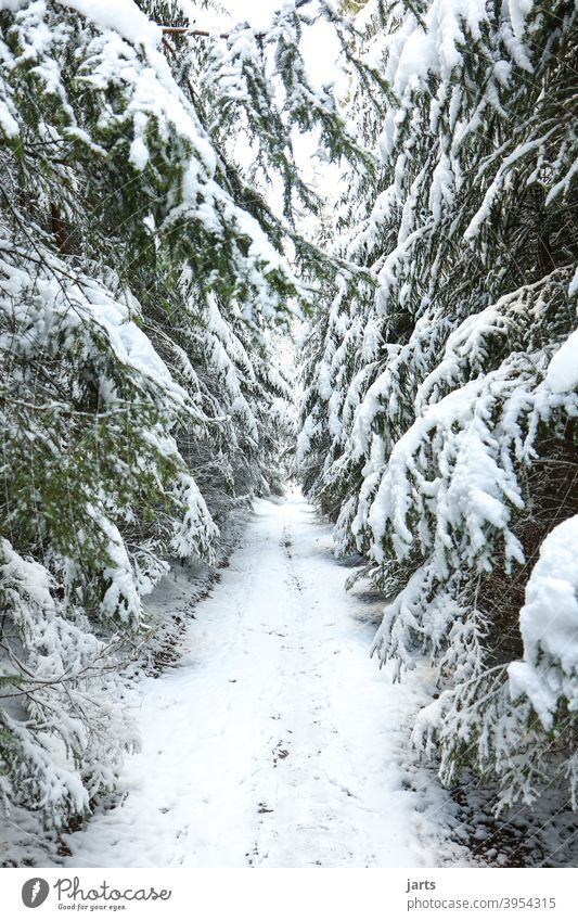 Forest path in winter off Winter Snow firs Cold White Nature Exterior shot Tree Deserted Colour photo Day Environment Frost Landscape Weather Climate