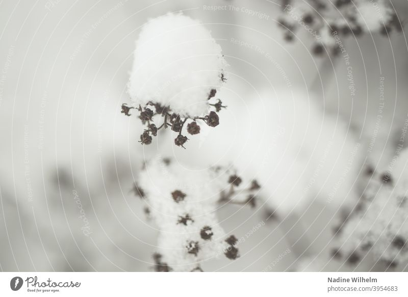 Snow covered Flower withered snow-covered Winter Nature Cold White Frost Exterior shot Frozen Environment December Freeze Winter's day Winter mood Climate