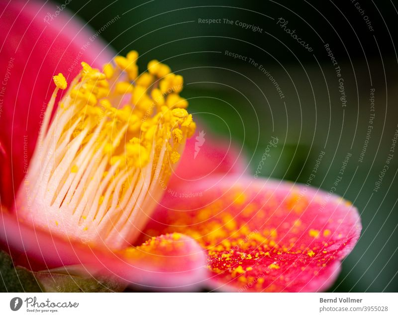 Red camellia flower Stamen Pollen; pollen Yellowness Pink Green Bouquet Blossoming plants Botany