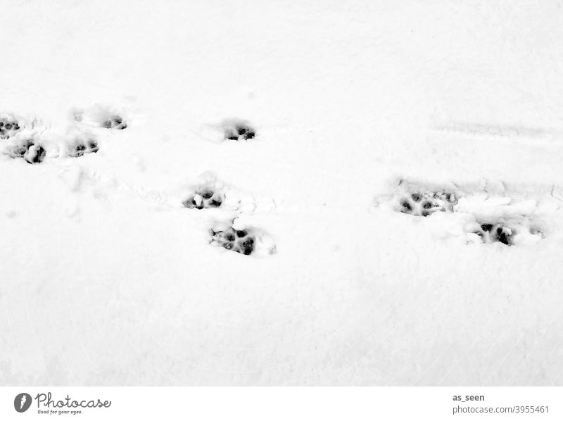 Animal tracks in the snow Snow Tracks footprints Winter Cold White Exterior shot Deserted Ice Frost Day Snow track Contrast Black & white photo Snow layer