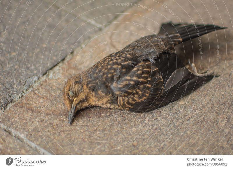 Dead blackbird / female blackbird lies on natural stone slabs Dead animal Blackbird Turdus merula Black Thrush Animal Wild animal Bird songbird Nature