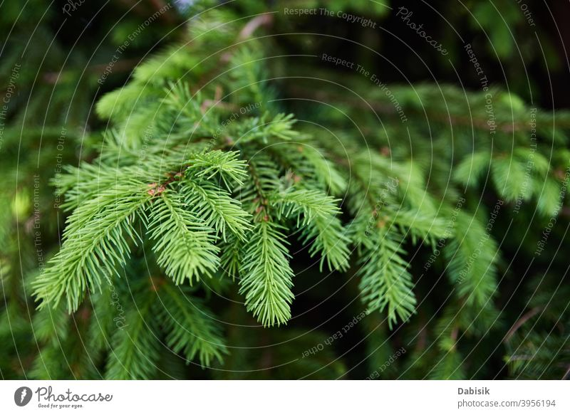 Green spruce branch closeup. Nature background tree green nature season plant seasonal christmas winter natural pine outdoor fir forest environment needle