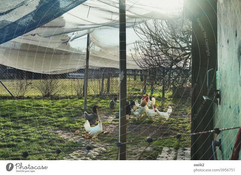 tent camp Barn fowl Farm animal Chicken coop Group of animals Observe Stand Looking Together Amazed Curiosity Deserted Colour photo Exterior shot