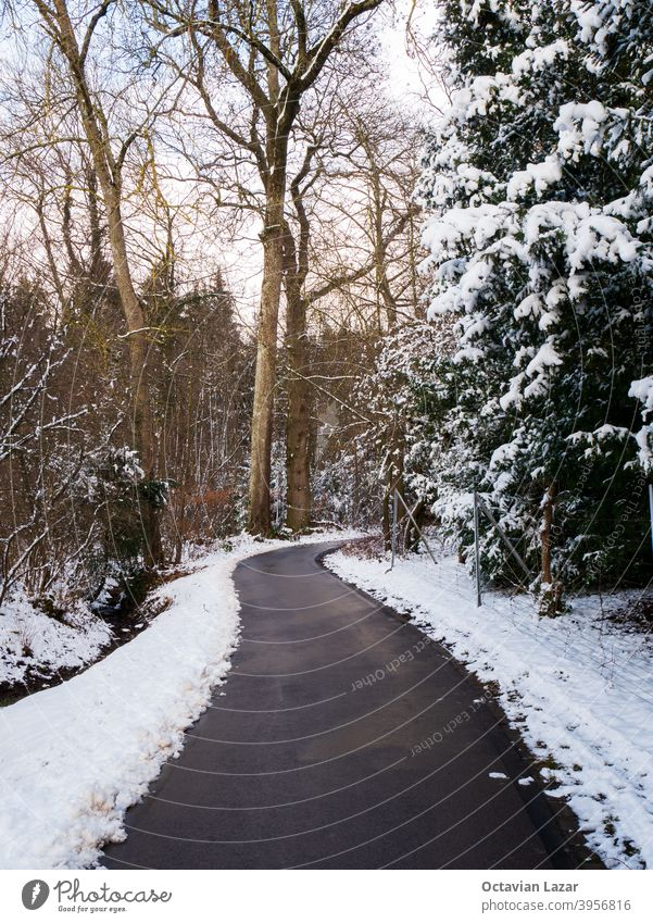 Winding asphlt pathway leading into a snowy forest snow covered vegetation no people nobody winding path asphalt background beautiful beauty cold conifer