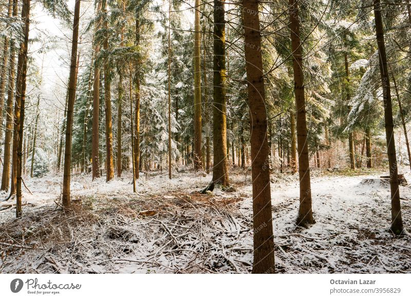 Snowy forest wonderland with evening sunlight wide angle shot vegetation background beautiful beauty celebrate christmas christmas tree cold conifer coniferous