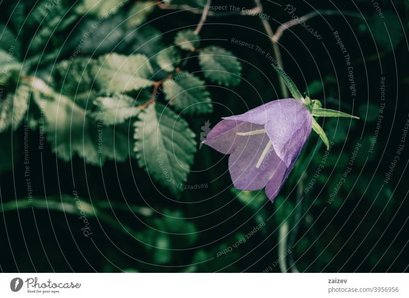 a single lilac campanula flower on a dark background Campanula bellflower horizontal colour clipping lit curve femininity intense isolate purity simplicity