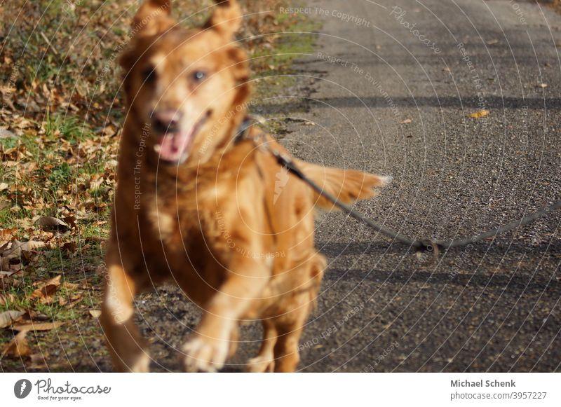 A Golden Retriever in a sprint Dog Animal Colour photo Animal portrait Animal face relaxation eye lifestyle animal dog retriever