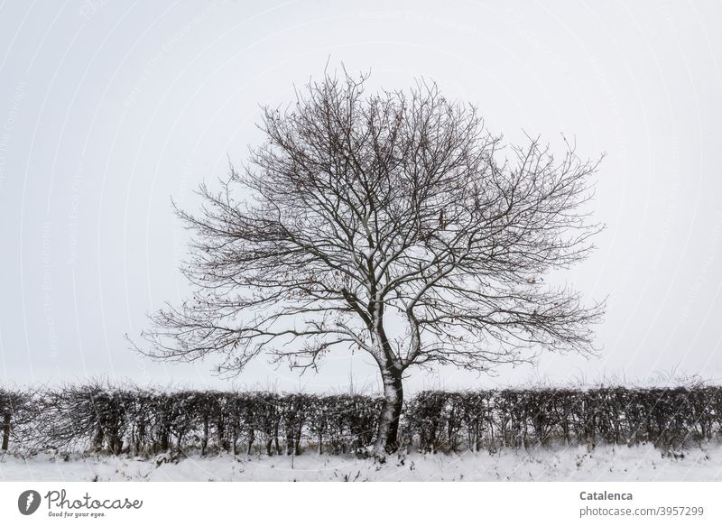 A beech tree in the hawthorn hedge on a snowy, misty winter morning Nature Landscape Hawthorn Hedge Tree Beech tree Snow Winter chill Day daylight Plant Weather