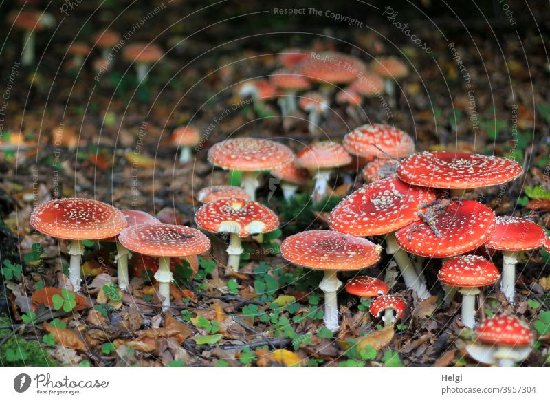 Lucky mushrooms - very many toadstools close together on the forest floor Mushroom Amanita mushroom Forest Woodground Many Nature Exterior shot Colour photo