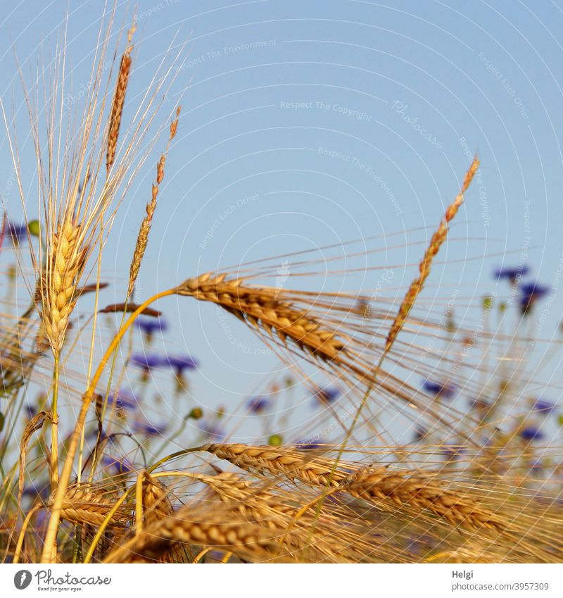 Close up of ripe barley ears in cornfield, cornflowers blooming in background Barley Barley ear spike Grain Cornfield Summer Mature Food Sky Blue