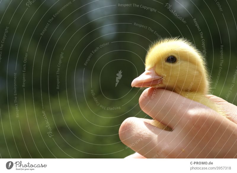 Goose Chicks geese chicken goose chicks Hand Poultry Small Animal portrait Bird Nature Feather animal world Keeping of animals Green Yellow Cute Beak Close-up