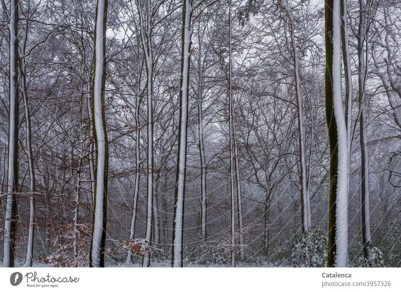 It has snowed in the forest Weather daylight Day chill Winter Snow Beech tree Tree Landscape Nature Plant Forest Brown White Green Season