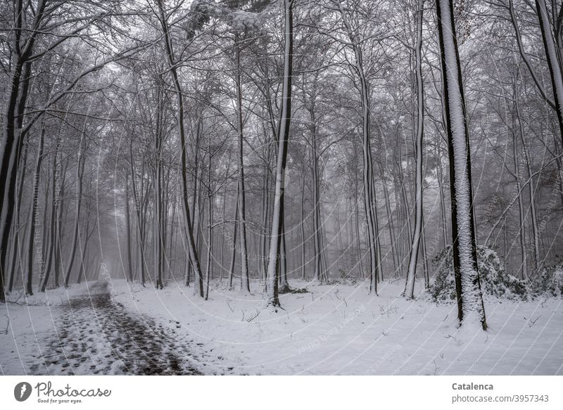 The path leads through the snowy forest Season White Forest Brown Green Plant Nature Landscape Tree Beech tree daylight Day chill Winter Snow Weather off