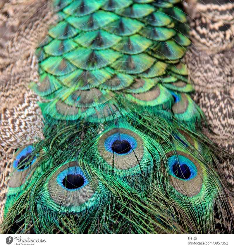 magnificent train - detail of tail feathers of a male peacock Peacock Bird masculine plumage Splendid Close-up Detail eyes Animal Colour photo Exterior shot