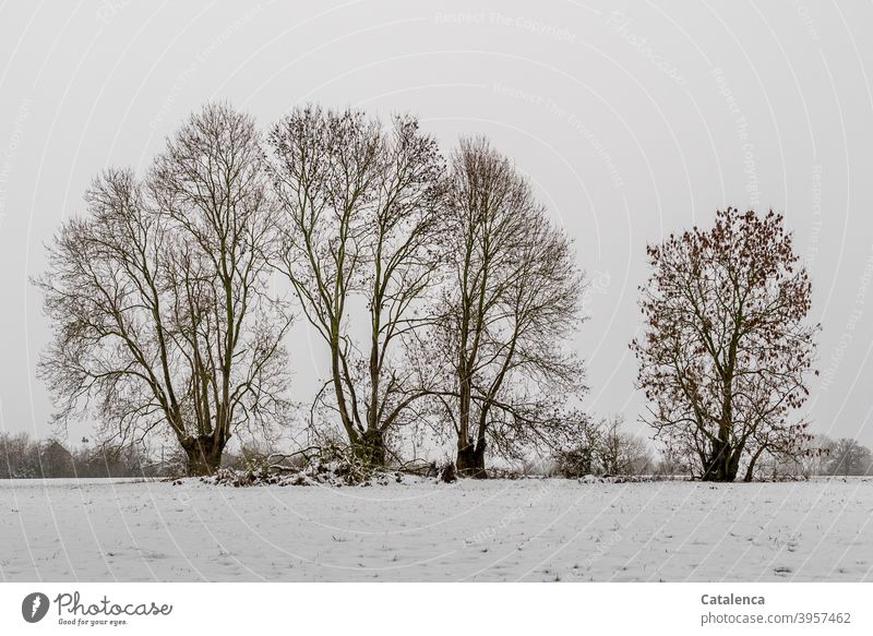 Old ash trees standing in the snow at the fence of a meadow Weather Plant daylight Day chill Winter Snow Tree Landscape Nature Ash-tree Meadow Fence Sky Fog