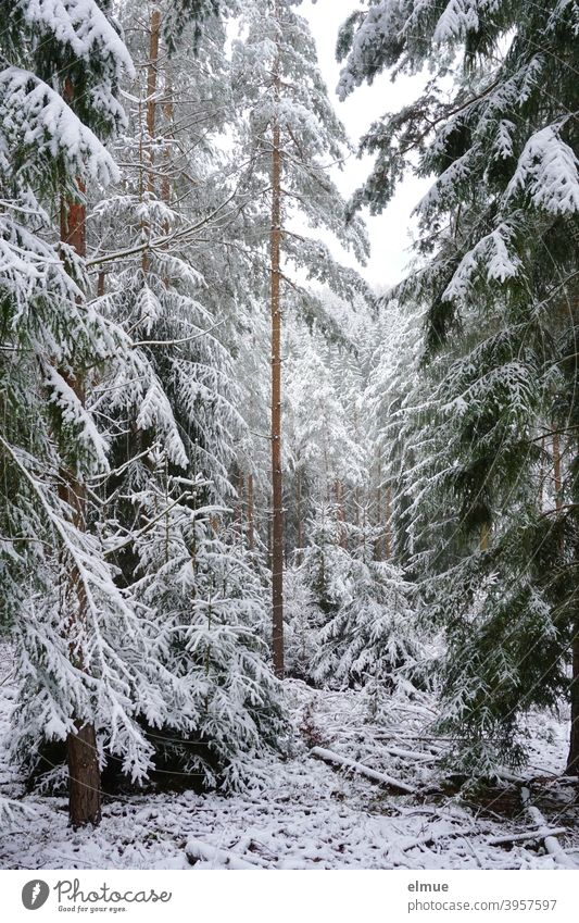 snowy coniferous forest / spruce forest / winter mood Coniferous forest Winter Snow spruces Tree White Forest Log Landscape Frost Winter forest Winter mood