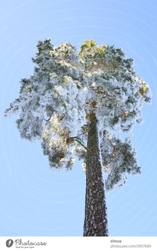 free standing snowy pine tree from frog perspective with blue sky and sunshine / winter mood Coniferous trees Winter Jawbone Treetop Winter mood Winter's day
