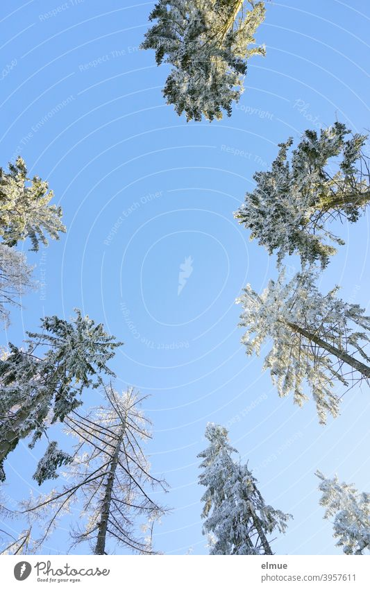 snowy coniferous tree tops from frog perspective with blue sky and sunshine / winter mood Coniferous trees Winter Treetops Winter mood Winter's day