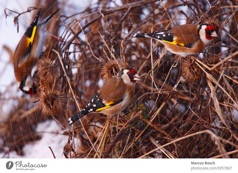 Stieglitz, Carduelis carduelis, European goldfinch Arctium Futter Futtersuche Gruppe Passeriformes Samen Samenfresser Voegel brutvogel burdock