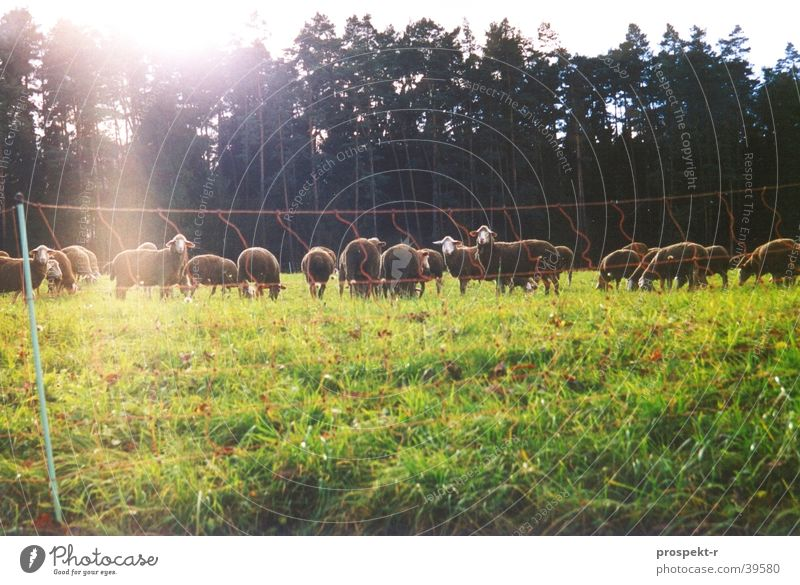 Nature Sun Green Animal Forest Meadow Transport Fence Sheep Sunspot