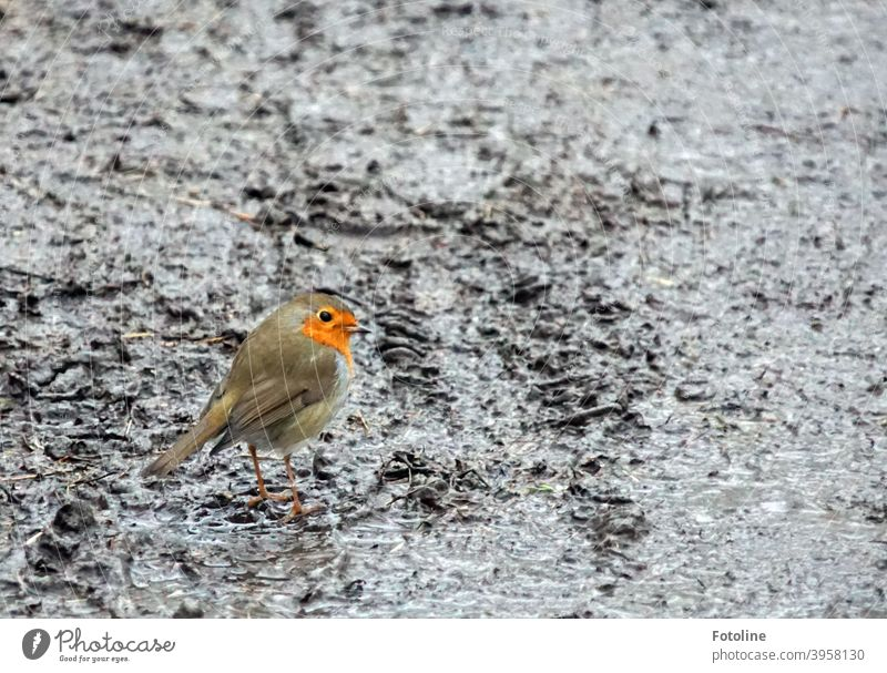In the dreary gray, a little robin hops through wet, cold slush. Robin redbreast Bird Animal Exterior shot Nature Colour photo 1 Deserted Day Wild animal