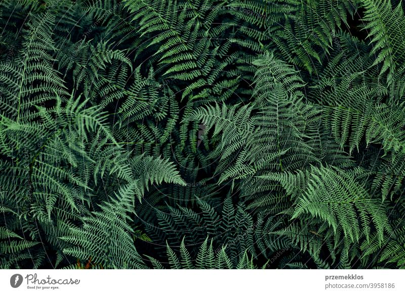 Fern leaves background. Close up of dark green fern leaves growing in forest. Shot from above season floral jungle close up branch botany tropical lush closeup