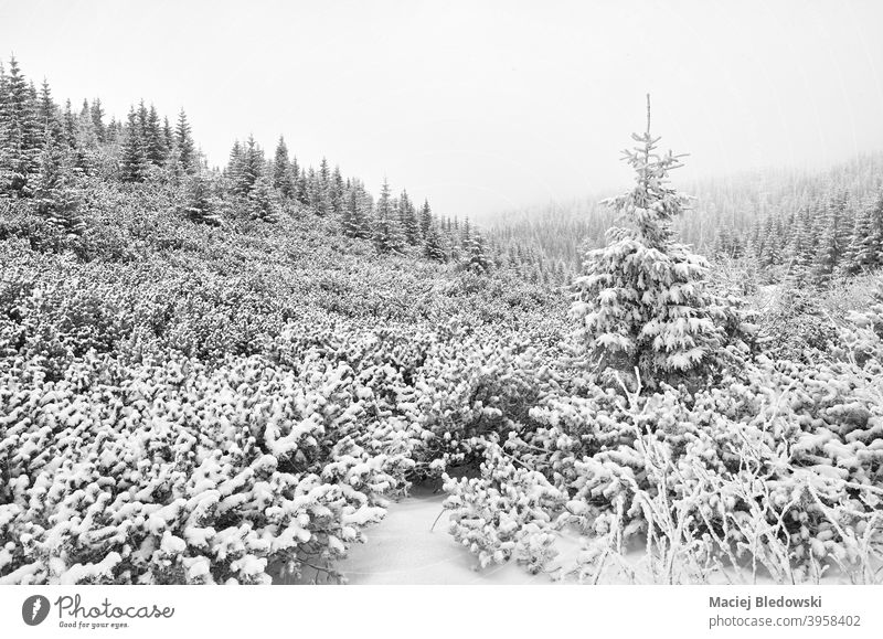 Black and white picture of a mountain landscape during heavy snowfall. winter black nature blizzard forest tree black and white B&W fog wilderness adventure
