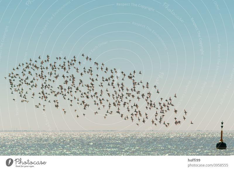 A flock of Dunlins makes its rounds Purple Sandpiper seabird Summer Seabirds Flock Flying Bird Animal Sea bird Poultry Seagull Freedom Wild animal coast Water