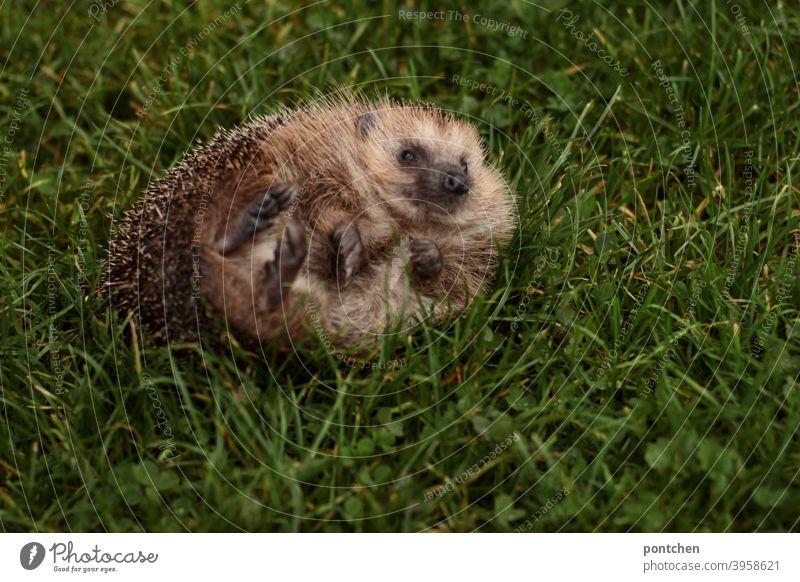 A hedgehog lying on its back. animal world, cute Hedgehog Animal Wild animal Back handicapped Topple over Cute Thorn Autumn