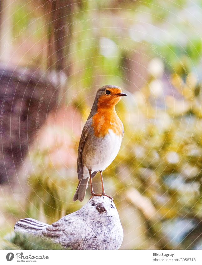 Robin - perky and lively it stretches its neck to look bigger.... Bird Photography animal world Nature Wild animal Colour photo Feather Exterior shot Wild bird