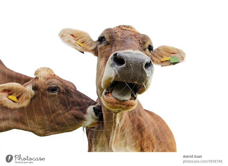 Funny cow photo. A cow nudges another cow on the neck, so that this screams surprised moo brown cattle cows Cow Moo Scream shout nudge sb. Agriculture Animal