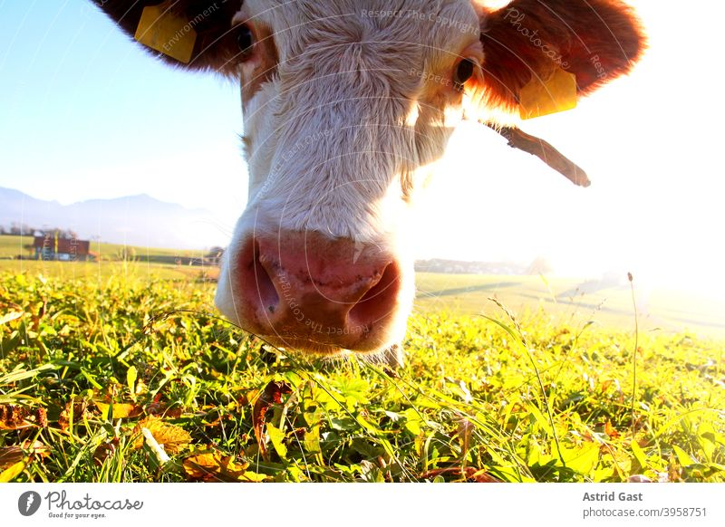 The head of a young Simmental cow in the backlight of the sun Cow horns Cow bell simmental cattle graze Head To feed wide angle shot Grass Meadow Willow tree