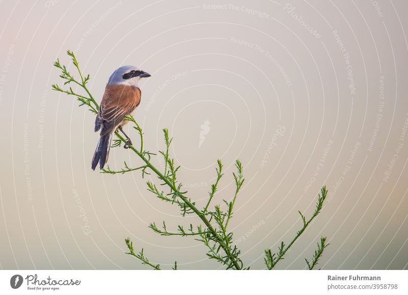 A red-backed shrike sits on a plant in the Biesenthal Basin nature reserve in foggy weather. Chestnut-backed Shrike lanius collurio strangler Bird Germany
