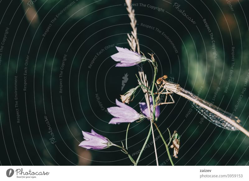dragonfly perched on top of a lilac campanula flower in a field colourful butterfly flying insect color image photography wing empty bug nature animal blue