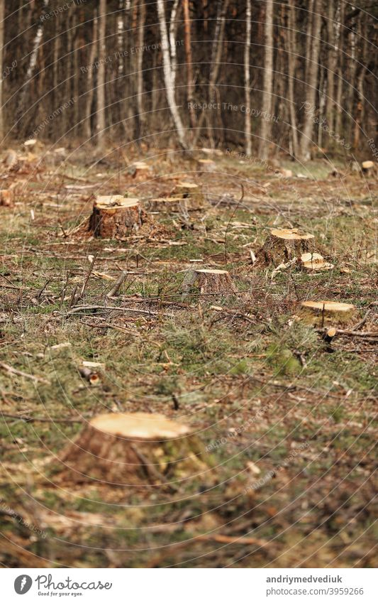 The picture after felling is a lot of stumps of coniferous trees remaining in the ground. stumps after illegal felling. selective focus nature wood cut